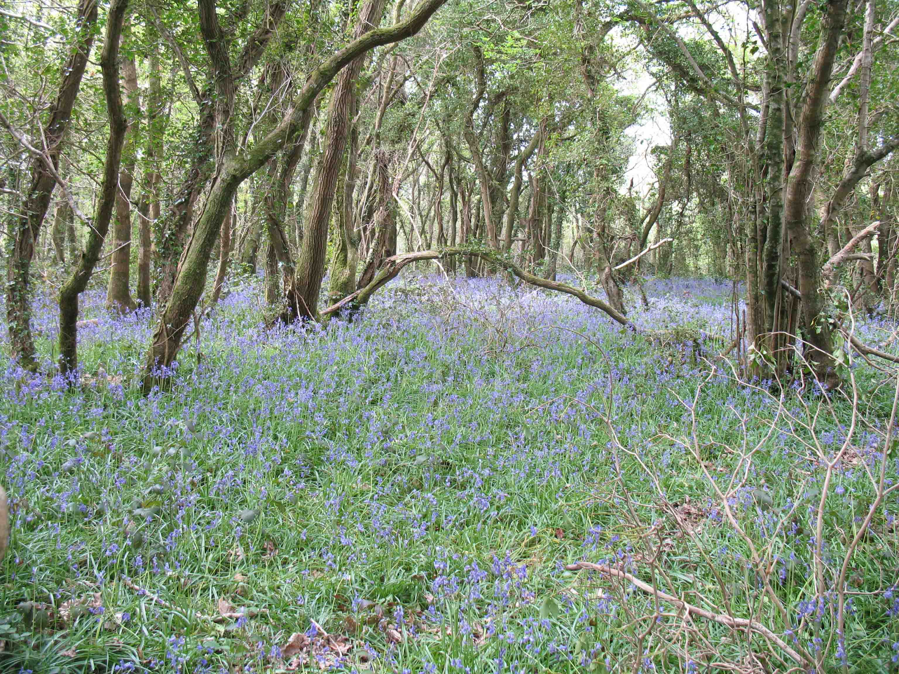 Bluebells at Warleigh Point